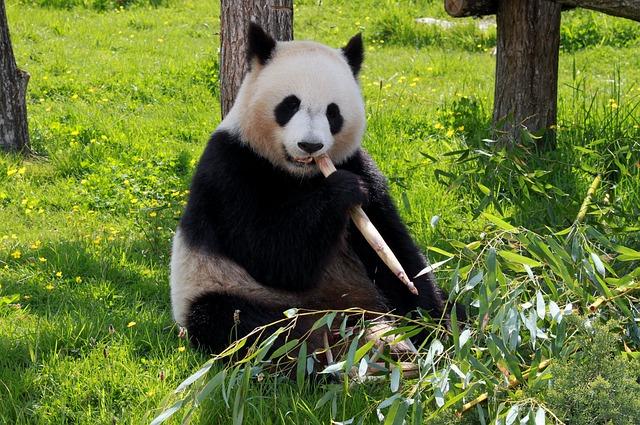 panda-206297_640
