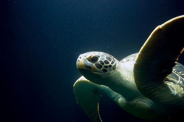 sea-turtle-335839_640